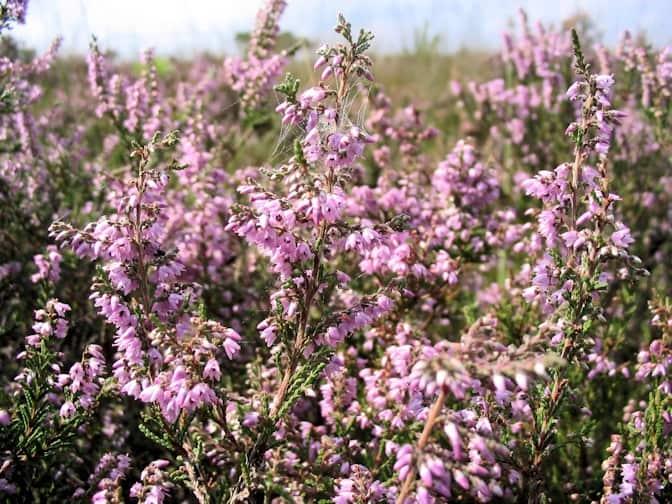 Struikhei (Calluna vulgaris)