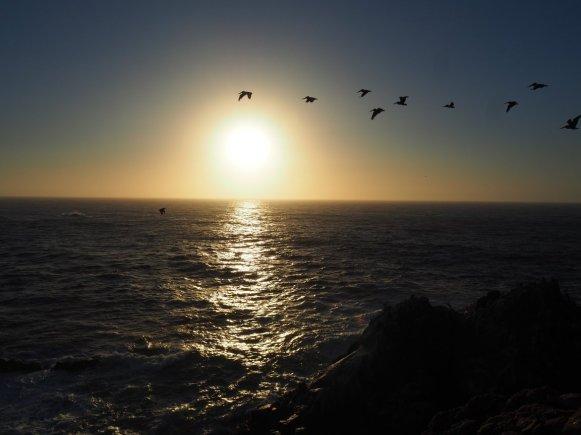 Pelikane Pacific Grove