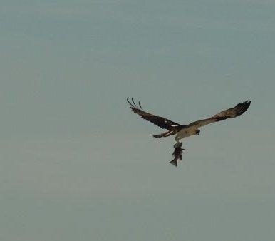 Vogel schnappt Fisch