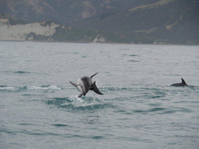 Wir schwammen mit Delfinen im Meer in der freien Natur bei Kaikoura