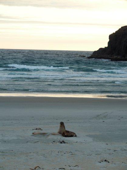 Robbe in Dunedin