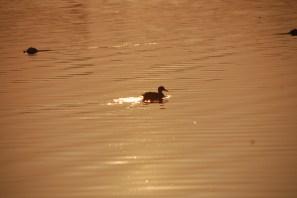 Ente in der Abendsonne