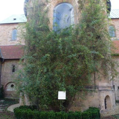 1.000-jähriger Rosenstock
