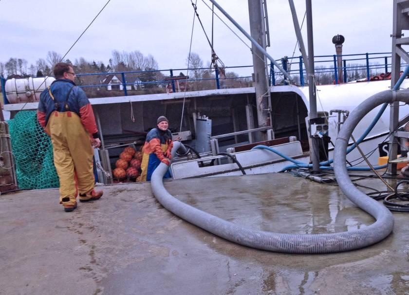 Ein Rohr saugt Fische aus dem Laderaum des Kutters und spuckt sie auf ein Förderband in Kappeln an der Schlei