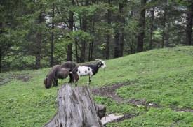 Pony und Ziege grasen gemeinsam.