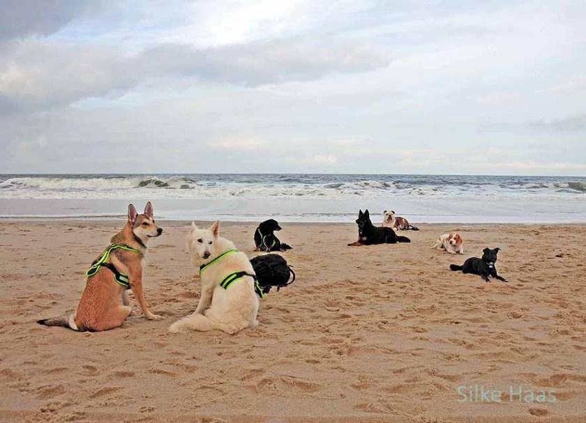 Ein Rudel Hund liegt friedlich am Strand