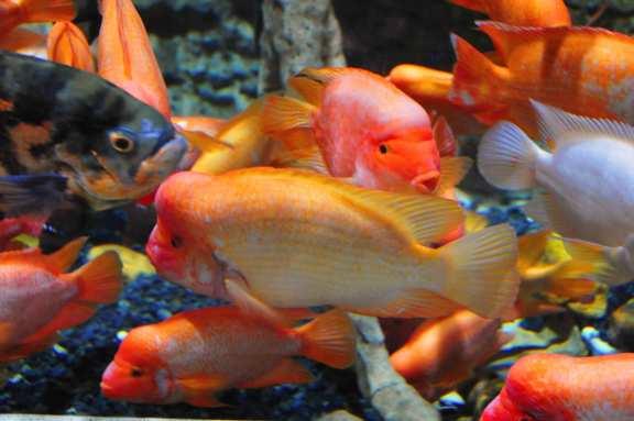 Goldfische sollen Glück bringen