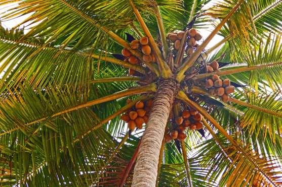 Gefährlicher Arbeitsplatz für Reisejournalisten, man munkelt, den ein oder anderen Kollegen hat schon eine Kokosnuss erschlagen