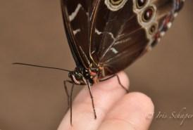 Schmetterlingsauge