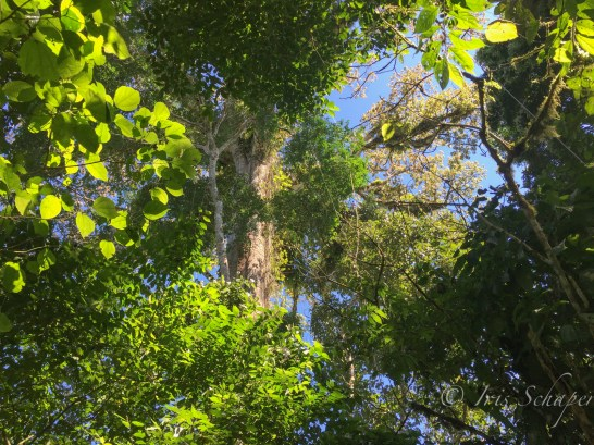 Ceibo Kapokbaum Urwaldriese