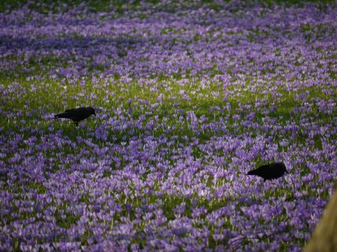 Schwarze Krähen stapfen durchs lila Meer...