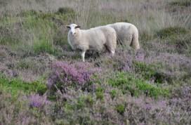 Typisch für das Bentheimer Landschaf sind dunkle Flecken um die Augen und der plüschige lange Schwanz