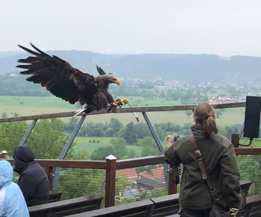 Seeadler im Landeanflug mit Falknerin Esther Lehmann auf Burg Guttenberg