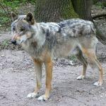 Unter Wölfen: Im Wolfcenter Dörverden
