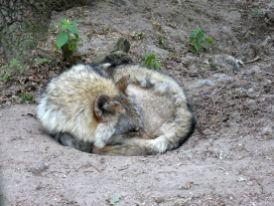 eingerollt Wölfe Reisefeder Benstem Wolfcenter Dörverden