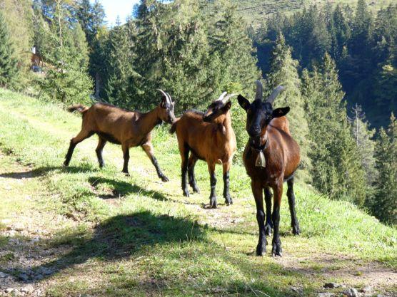 Alpbachtal Reisefeder Berge Alpen Benstem Ziegen drei