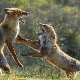 Fuchs, fox, Vulpes vulpes