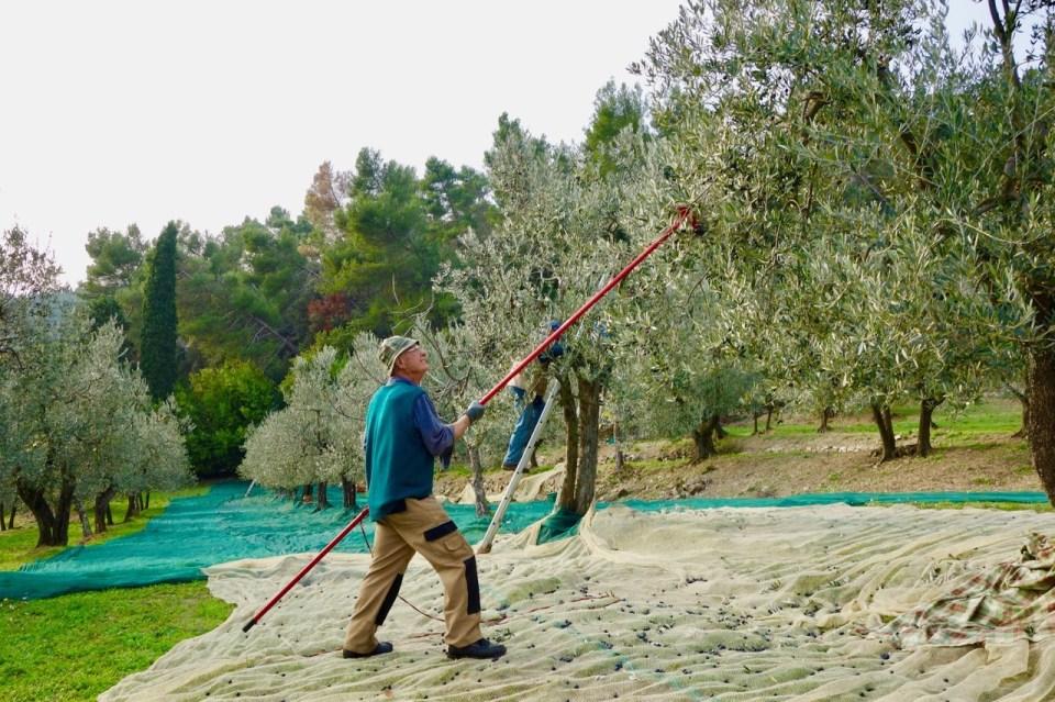 Olivenhøsting