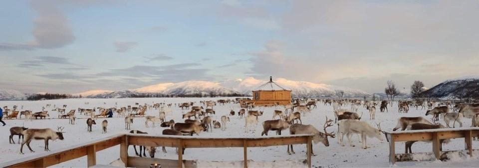 Tromsø arctic reinddeer