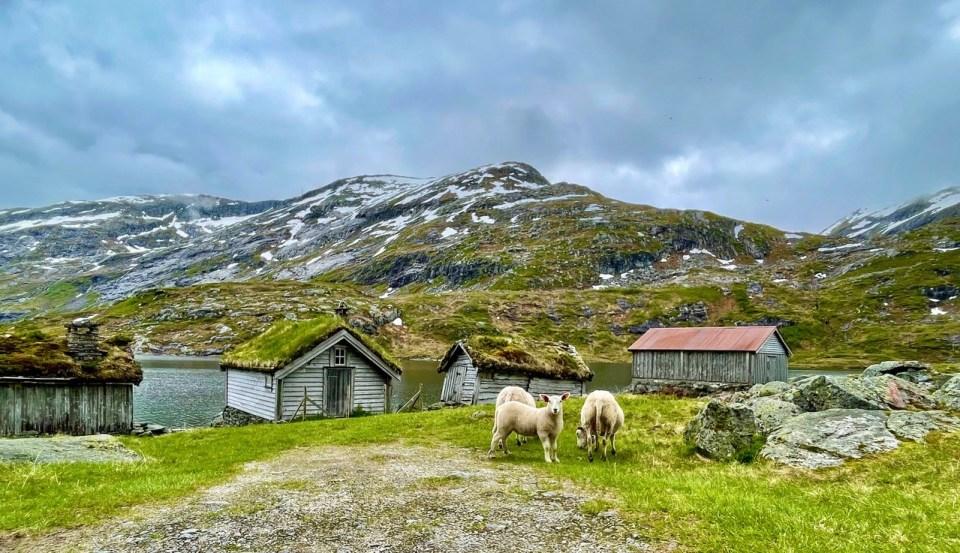 Sauer på Gaularfjellet