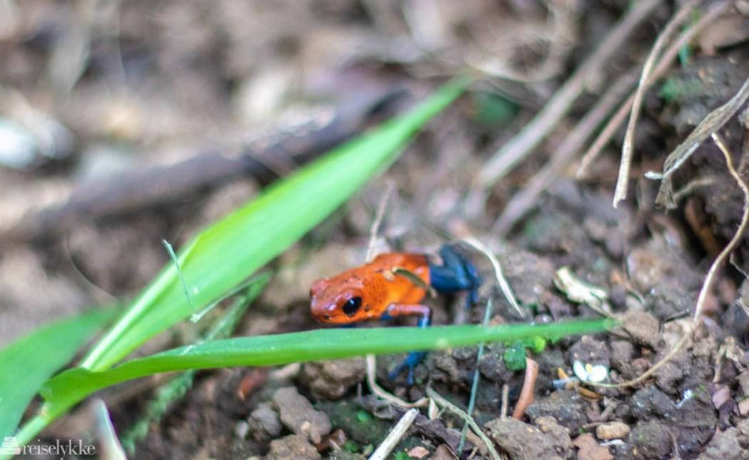 Blue Jean frog Costa Rica
