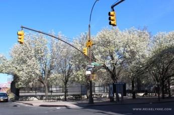 Kirsebærtrær i full blomst i Brooklyn Foto: Mette S. Fjeldheim