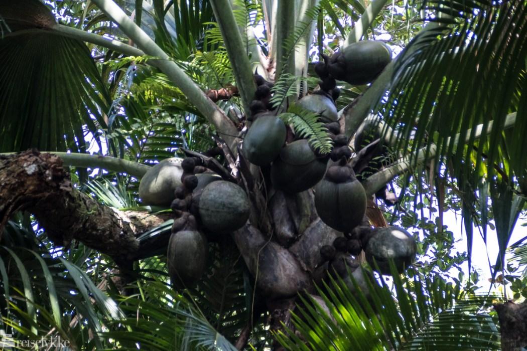 Coco de Mer i Vallée de Mai Praslin