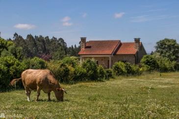 Frittgående kalv i Galicia