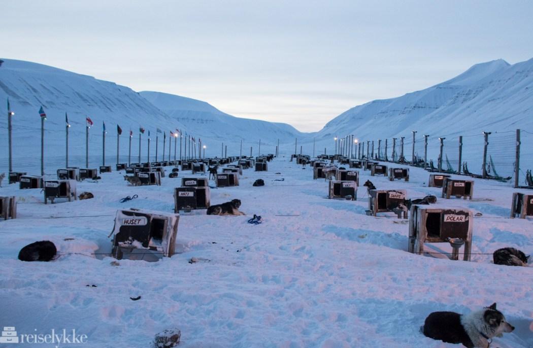 Hunder hos Green Dog, Svalbard