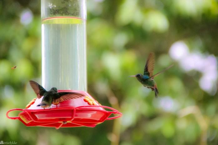 fuglejakt på trinidad, kolibri, yerette