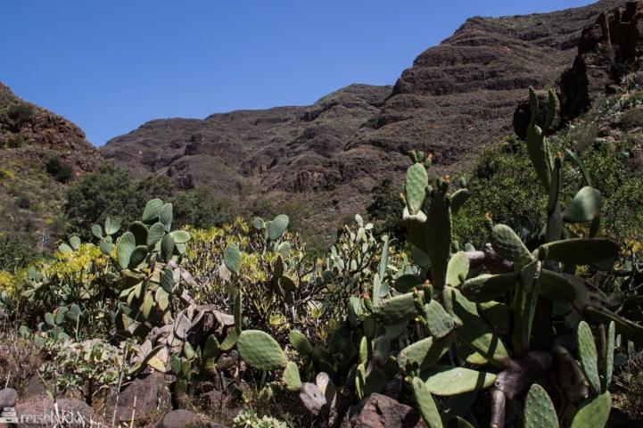 Kaktus på Gran Canaria