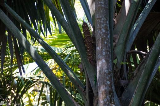 Mannlig utgave Coco de Mer Palm på Praslin