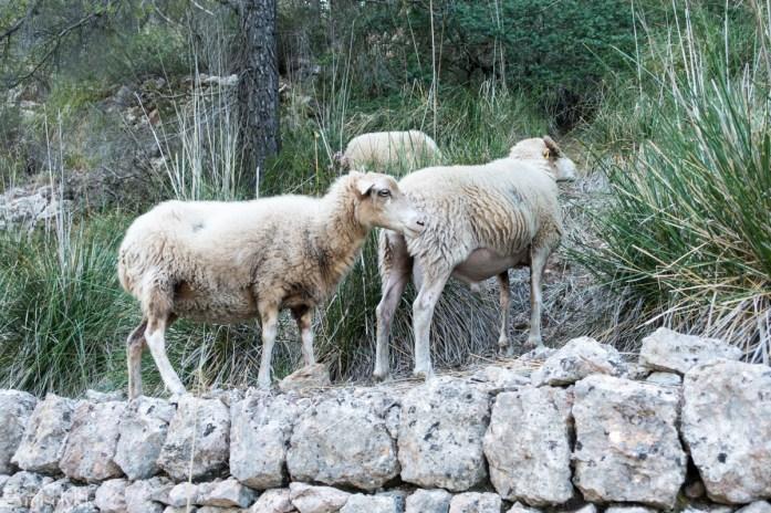 Sauer på vei ned mot Deia, Terra de Tramuntana, Mallorca