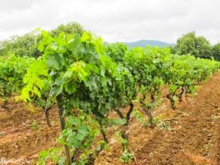 Vinranker ved St. Tropez