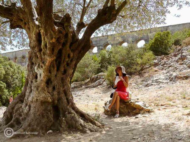 Schatten spendet dieser über 1.000 Jahre alte Olivenbaum unterhalb des Pont du Gard, ein römisches Aquädukt, in Südfrankreich.