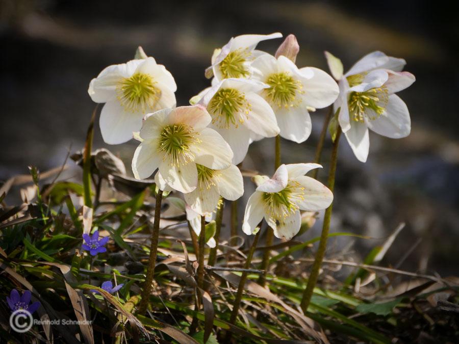 Schneerosenblüte im Kufsteinerland