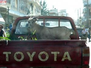 Auf dem Weg: Typische Tiertransport (klappt auch mit Hunden ;))