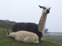 Lama in Machupicchu