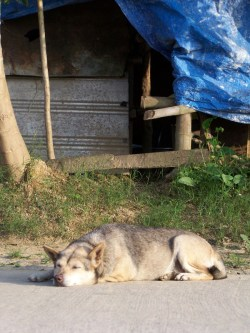 Hund in Hoi An