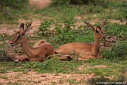 Junge Impala