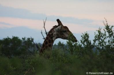 Giraffe ragt aus den Bäumen heraus