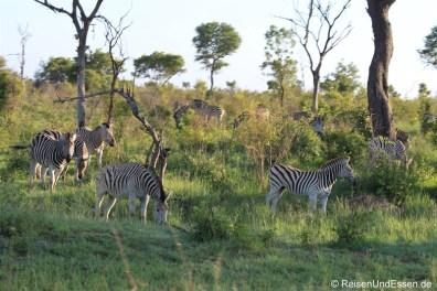 Herde Zebra im Krüger Nationalpark