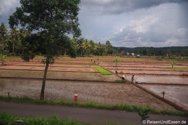 Bei der Arbeit im Reisfeld