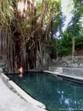 Feigenbaum mit Fisch-Spa