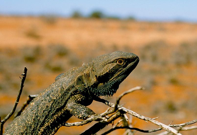 Ein Frill-Neck Lizard (Kragenechse) im Outback