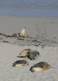 KangarooIsland_SealBay_3_credit_Hilke Maunder