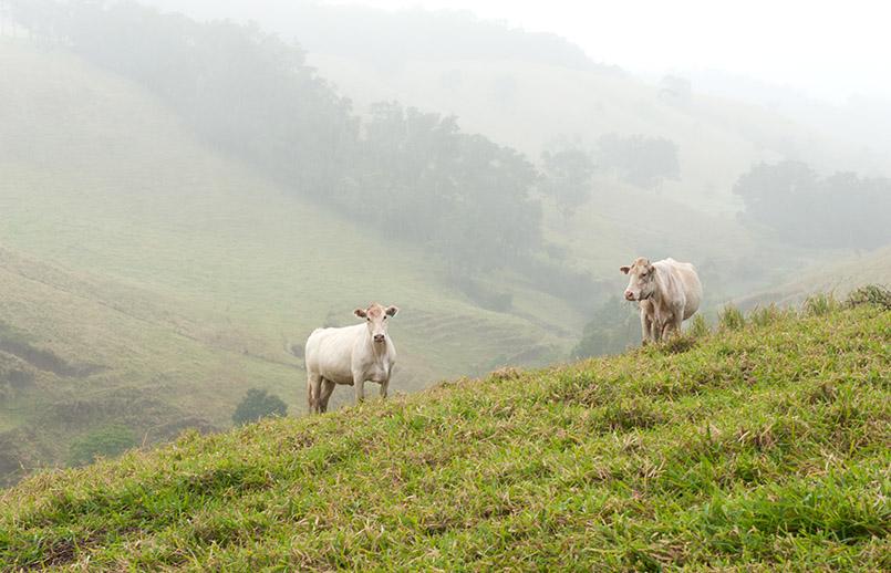 Brahmen-Rinder grasen auf den Hängen der Atherton Tablelands