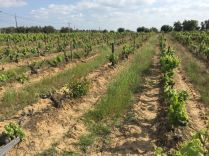 Weinanbau im Alentejo