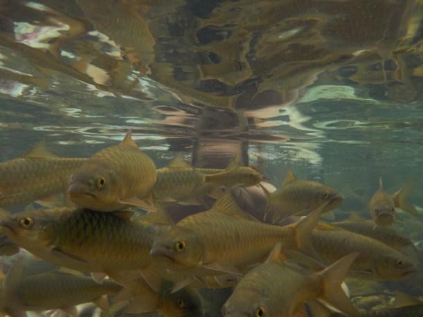 Zwemmen tussen de vissen bij Khlong Plu