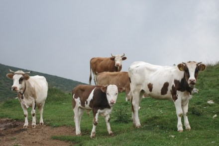 Cow Biogradska Gora Via Dinarica
